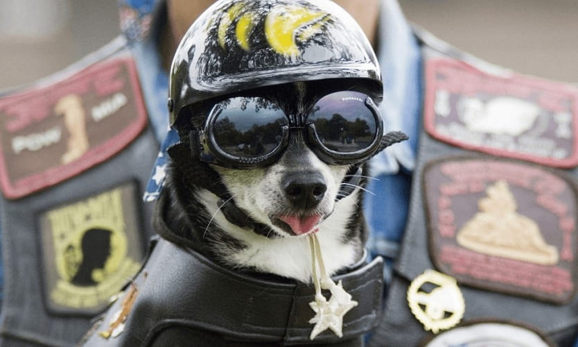 helmet for dog